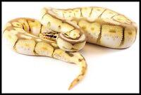 Ball Pythons!!!!