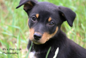 PURE KELPIE PUPS FROM PROVEN WORKING LINES READY TO GO!!