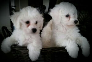 For the Love of Thunder - Bichon Puppies For Sale Canada