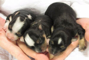 Morkie puppies with tcup yorkie sire