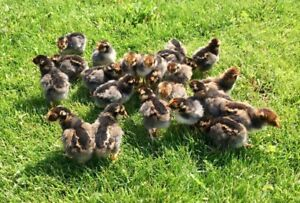 22 Purebred Blue Laced Red Wyandotte Chicks