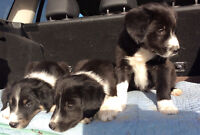 Pure Boarder Collies