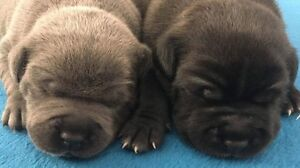 Staffordshire Bull Terrier Pedigree, Staffy, Staffies, English Bray Park Pine Rivers Area Preview