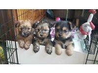 Shorkie Puppies - Halifax West Yorkshire - 2 girls & 1 boy