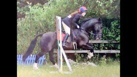 11 yo 15,2hh Irish Sport Horse