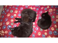 Kittens x3 ( 2 female, 1 male) Dark Brown/Black with Red tinge, fluffy with long hair.
