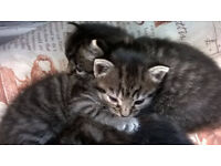 Adorable Kittens For Sale Grey With Black Stripes And Fluffy £30