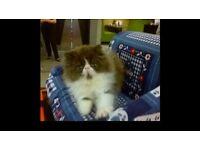 Female cat/PedigreePersian