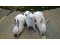 Himi Dwarf Rabbits