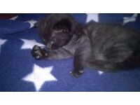 Black and charcoal male kitten