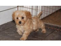 Tiny Toy Dark Apricot Poodle Pup