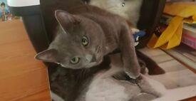 Beautiful grey cat needing a loving home