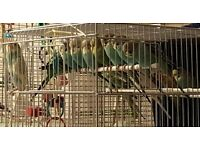 Baby Budgies - Various Colours