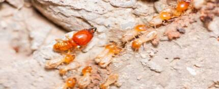 Termite Control Diamond Creek