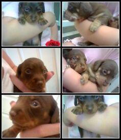 Miniture dachshund puppy's KC. Reg
