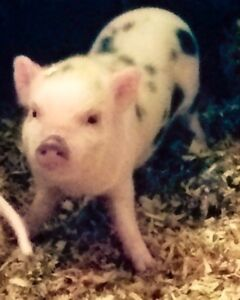 Mini Micro Pigs - ONLY 3 LEFT Kitchener / Waterloo Kitchener Area image 6