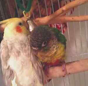 Needed Petsitting for Conure & Cockatiel