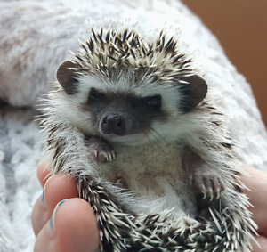 Bebe herisson / hedgehog de 6 semaines