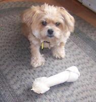 "Adult Male Dog - Pomeranian: ""Buddy"""
