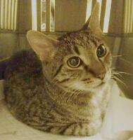Young Female  - Domestic Medium Hair-Tabby