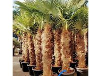 PALM TREE - Trachycarpus Fortunei Palm Tree Sold by Nwtropicals