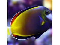 Powder brown tang marine tropical salt reef fish Tank aquarium