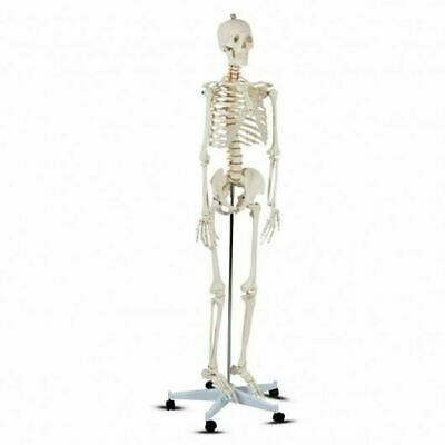 Durable Medical School Life-size Skeleton Model Human Anatomy Class