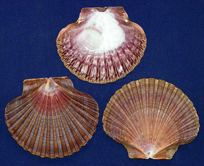 "3/"" Mexican Flat Scallop,Pecten,Cockle,Clam,Shells Craft Seashells 6//12//24 Pcs"