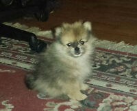 Only 3 Pomeranian Puppies Left
