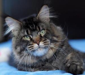 Maine Coon registered large  kittens
