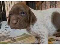 Beautiful GSP female puppy. KC