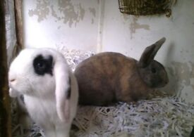 Two beautiful bonded rabbits