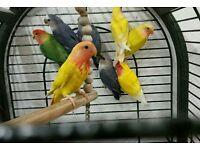 أفضل LOVEBIRDS