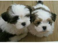 Stunning lhasa apso pups