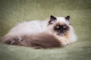 Exotic Long Hair Persian for sale