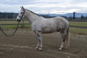 Utah - 15.1hh Grade Quarter Horse Gelding