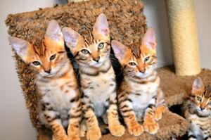 Holistically Raised Bengal Kittens