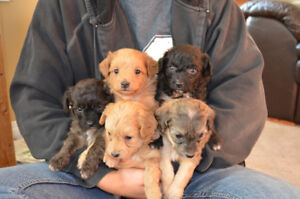 Papipoo Puppies