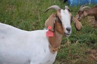 BOER X Goat herd for Sale