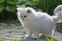PERPURBRED  PERSIAN  KITTENS  GOLD&SILVER CHINCHILA