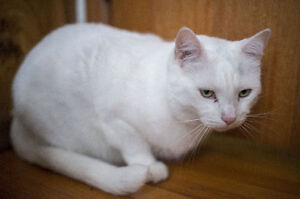 WANTED, large white friendly cat LOST in Calgary, AB