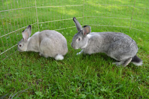 3 American Chinchilla/New Zealand cross rabbits