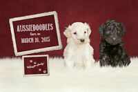AUSSIEDOODLE Puppies For Sale!!!