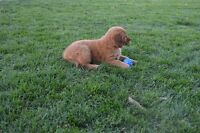 Golden Retiever Puppies