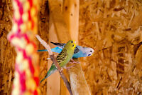 2 budgies, male and female