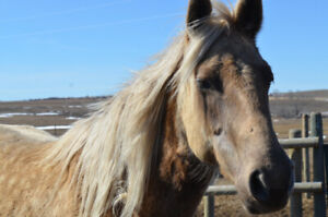 Stunning Registered Rocky Mountain Horse for Sale!