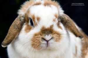 Retired Holland Lop Looking For a Home!