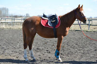 2012 Warmblood Mare