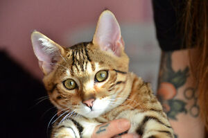 Beautiful Bengal Kittens 7