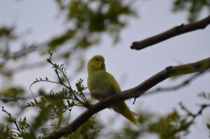 Found Yellow Budgie